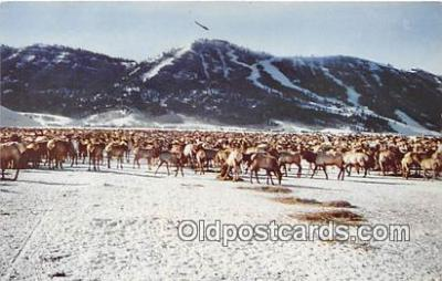yan060080 - Jackson Hole, Wyoming, USA National Elk Refuge Postcard Post Card