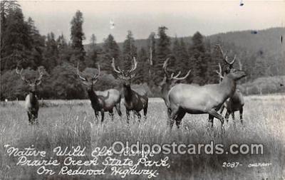 yan060090 - Prairie Creek State Park Real Photo - Native Wild Elk Range Postcard Post Card