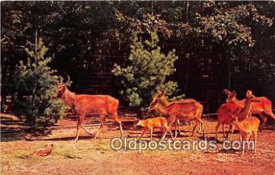 yan060092 - Catskill, NY, USA Golden Yellow Barasingha Deer, Catskill Game Farm Postcard Post Card