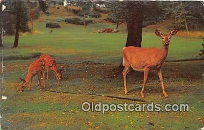 yan060107 - Central Adirondacks, USA Adirondack White Tail Deer & Twin Fawns Postcard Post Card