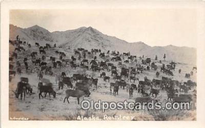 yan060113 - Alaska Real Photo - Reindeer Postcard Post Card