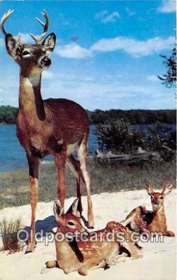 yan060134 - Majestic Buck Postcard Post Card