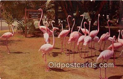 yan090001 - San Diego Zoo, CA, USA Flamingos Postcard Post Card