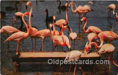 yan090015 - Florida, USA Florida Flamingos Postcard Post Card