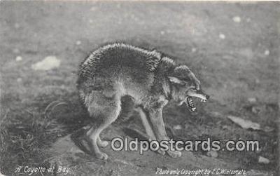 yan100002 - Coyotte at Bay Postcard Post Card