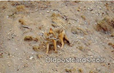 yan100009 - Wyoming, USA Coyote Postcard Post Card