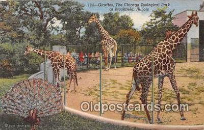yan110002 - Brookfield, IL, USA Giraffes, Chicago Zoological Park Postcard Post Card