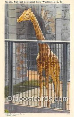 yan110009 - Washington DC, USA Giraffe, National Zoological Park Postcard Post Card