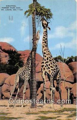 yan110011 - St Louis, MO, USA Giraffes, Forest Park Zoo Postcard Post Card