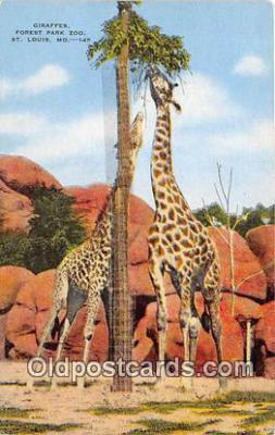 yan110012 - St Louis, MO, USA Giraffes, Forest Park Zoo Postcard Post Card