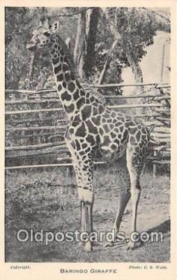 yan110016 - Baringo Giraffe Postcard Post Card