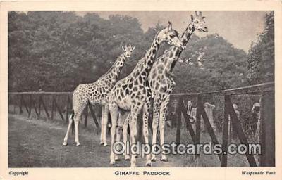 yan110021 - Whipsnade Park Giraffe Paddock Postcard Post Card
