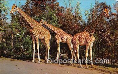 yan110024 - Catskill, NY, USA Nubian Giraffes Postcard Post Card