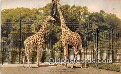 yan110028 - New York, USA Giraffes, New York Zoological Park Postcard Post Card