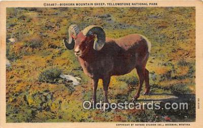 yan120001 - Yellowstone National Park, USA Bighorn Mountain Sheep Postcard Post Card