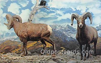 yan120004 - Kansas City, Missouri, USA Bighorn Mountain Sheep Postcard Post Card