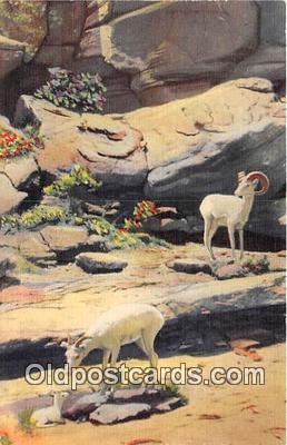 yan120015 - Texas, USA Mountain Sheep Postcard Post Card