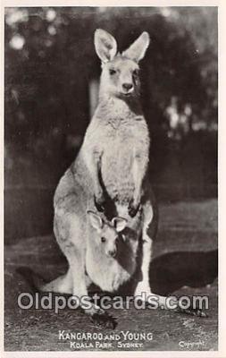 yan140006 - Koala Park, Sydney Kangaroo & Young Postcard Post Card