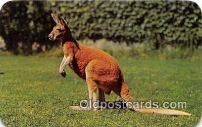yan140010 - Photo by Bill Sweet Australian Red Kangaroo Postcard Post Card