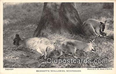 yan140014 - Whipsnade Park Bennett's Wallabies Postcard Post Card