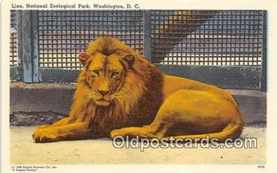 yan150001 - Washington DC, USA Lion, National Zoological Park Postcard Post Card