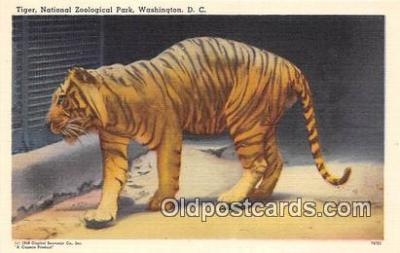 yan150002 - Washington DC, USA Tiger, National Zoological Park Postcard Post Card