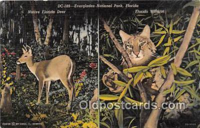 yan150003 - Florida, USA Florida Wildcat, Everglades National Park Postcard Post Card