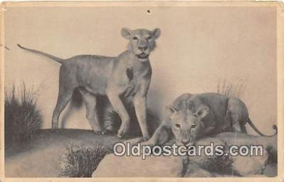 yan150014 - Chicago, IL, USA East African Lion, Field Museum of Natural History Postcard Post Card