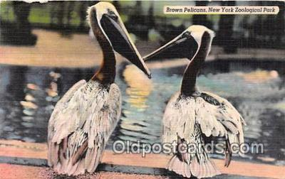 yan170013 - New York Zoological Park, USA Brown Pelicans Postcard Post Card
