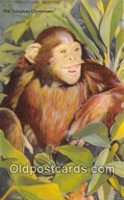 Laughing Chimpanzee
