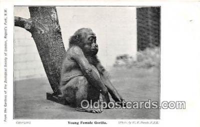 yan190018 - Regents Park, NW Young Female Gorilla Postcard Post Card