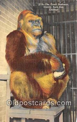 yan190025 - Chicago, USA Great Bushman, Lincoln Park Zoo Postcard Post Card