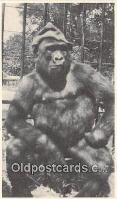 Susie, Trained Gorilla