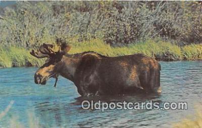 yan200006 - 1979 Moose Postcard Post Card