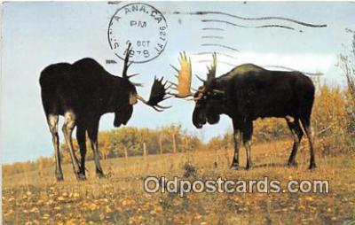 yan200007 - Alberta, Canada Alberta Game Farm, Moose Postcard Post Card