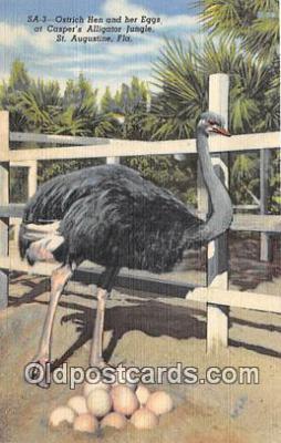 yan210005 - St Augustine, FL, USA Ostrich Hen & Her Eggs, Casper's Alligator Jungle Postcard Post Card