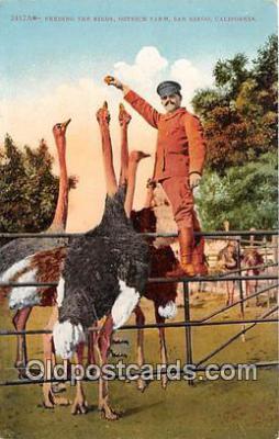 yan210018 - San Diego, CA, USA Ostrich Farm Postcard Post Card
