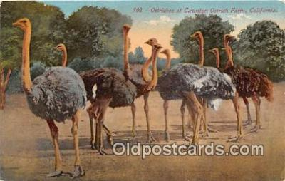 yan210024 - California, USA Ostriches, Cawston Ostich Farm Postcard Post Card