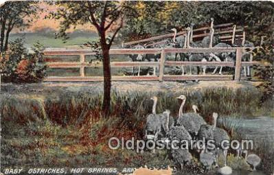 yan210028 - Hot Springs, Ark, USA Baby Ostriches Postcard Post Card