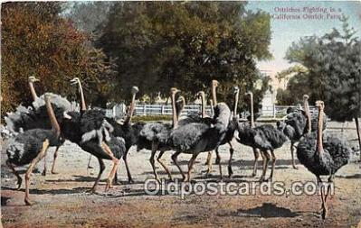 yan210048 - California Ostrich Farm, USA Ostriches Fighting Postcard Post Card
