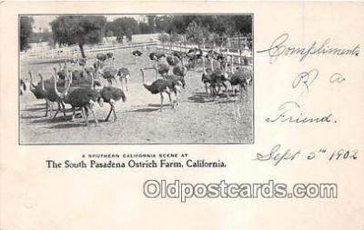 yan210058 - California, USA South Pasadena Ostrich Farm Postcard Post Card