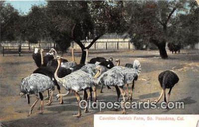 yan210062 - South Pasadena, CA, USA Cawston Ostrich Farm Postcard Post Card