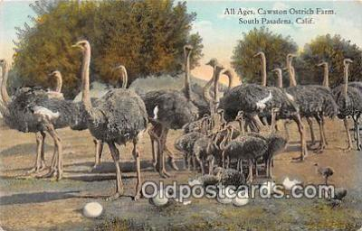 yan210066 - South Pasadena, CA, USA All Ages, Cawston Ostrich Farm Postcard Post Card
