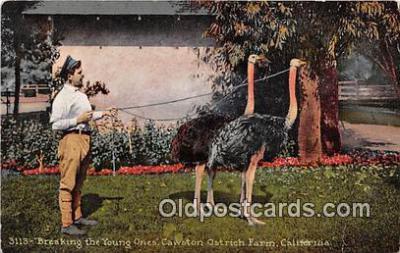 yan210067 - California, USA Cawston Ostrich Farm Postcard Post Card