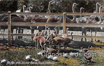 yan210076 - California, USA Cawston Ostrich Farm Postcard Post Card