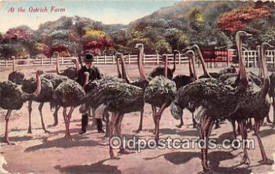 yan210077 - California, USA Ostrich Farm Postcard Post Card