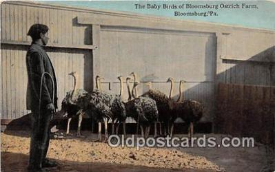 yan210082 - Bloomsburg, PA, USA Baby Birds, Bloomsburg Ostrich Farm Postcard Post Card