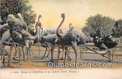 yan210083 - Florida, USA Ostriches Postcard Post Card