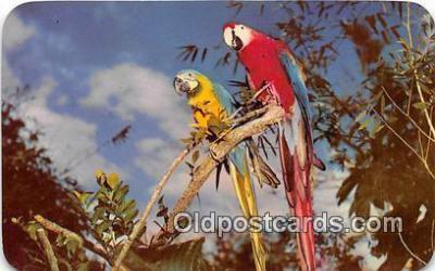yan220023 - South Miami, USA Colorful Macaws Postcard Post Card