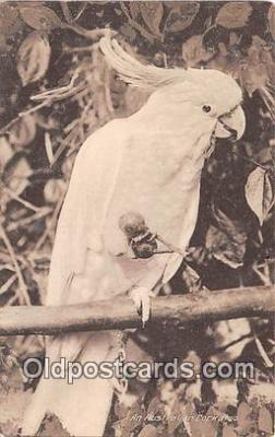 yan220052 - Australian Cockatoo Postcard Post Card